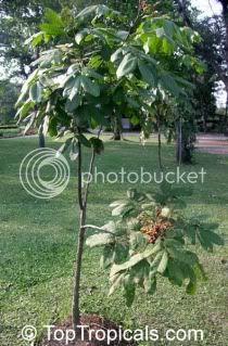 Pokok Mertajam