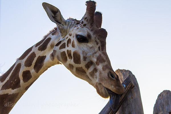Sacramento Zoo giraffes