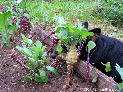 Lucky Buddy Bear Guarding Some Newly Discovered Resprouted Purple Kohlrabi