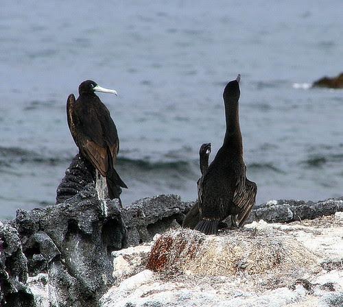 Cormorant Baby