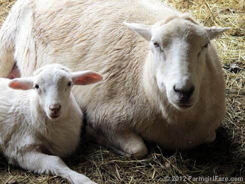Random lamb snaps 5 - FarmgirlFare.com