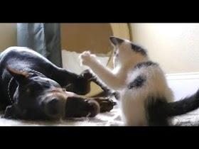 Kucing Lucu Vs Anjing