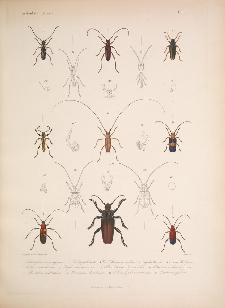 natural history illustration from  Cuba 1838-1857 j