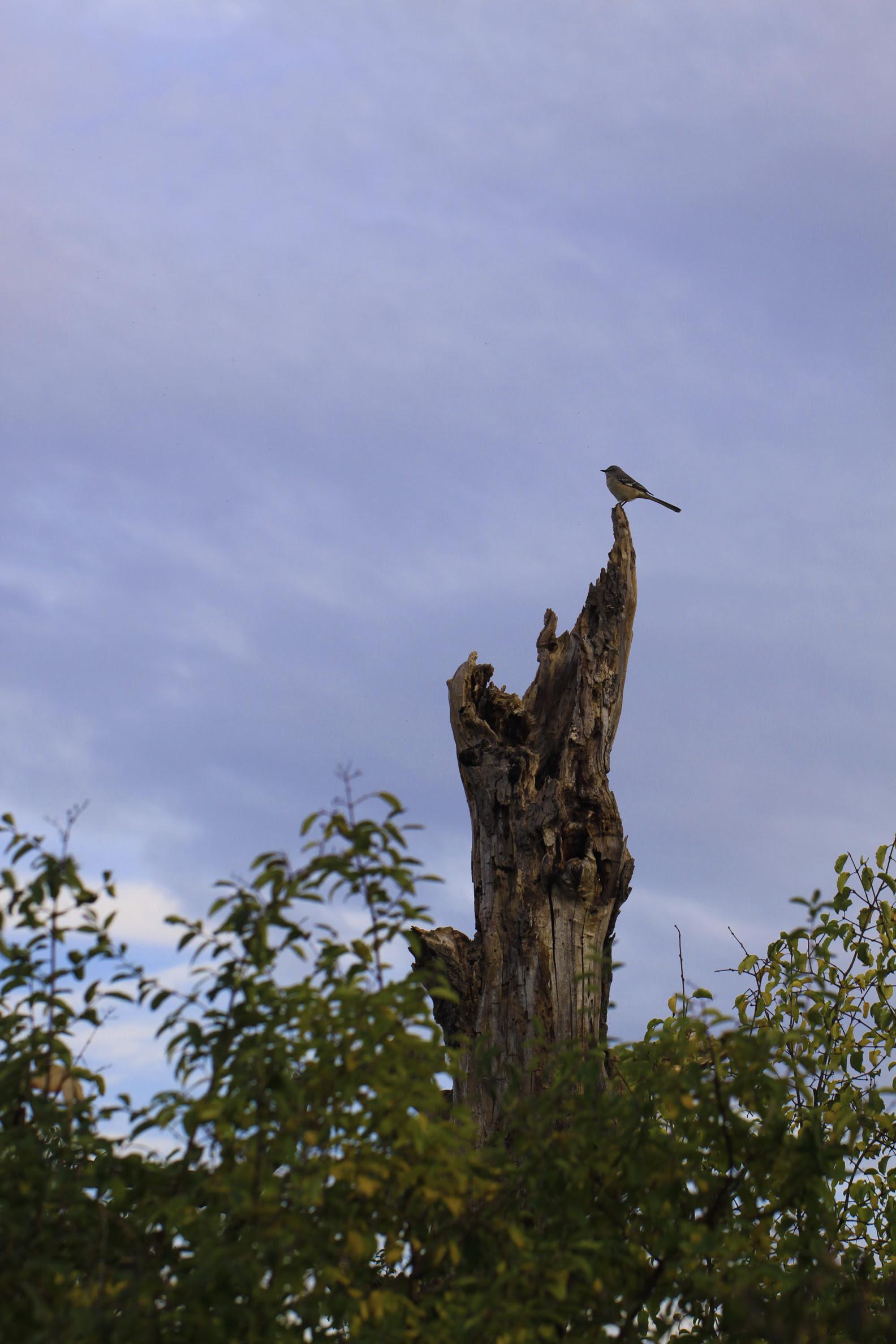 mockingbird on tree