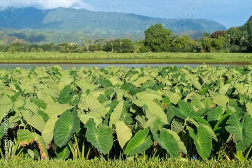 Amazing Health Benefits Of Taro And It's Leaves :