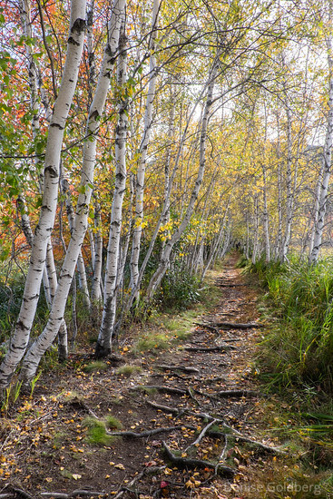 a path through white birch trees
