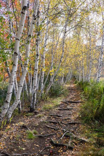 a path through white birch trees