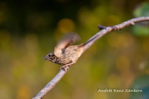 Song Sparrow (Melospiza melodia)-24.jpg