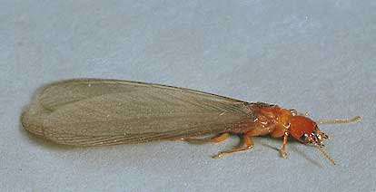 Termites Info Flying Red Termites