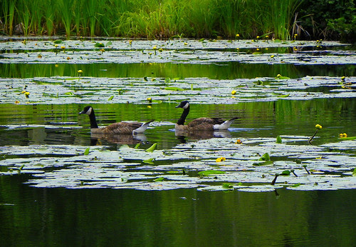 Canadian Geese On A Waterlily Pond