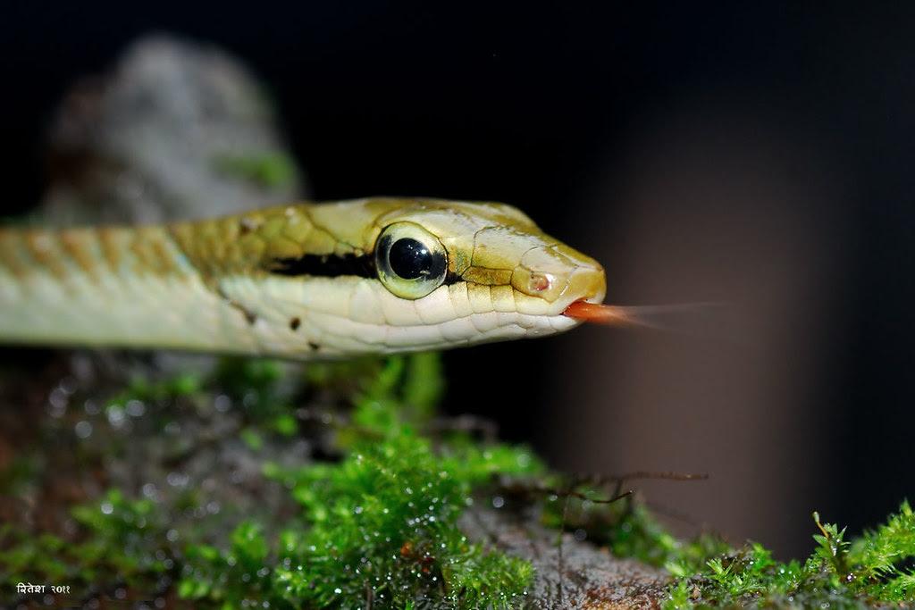 Bronze Backed Tree Snake