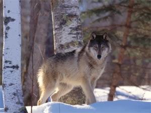 Gray-Wolf-7