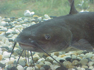 The channel catfish has four pairs of barbels.