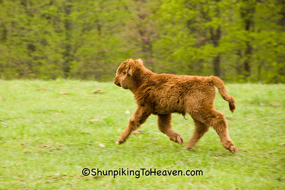 Highland Calf Running to Its Mother, Pike County, Ohio