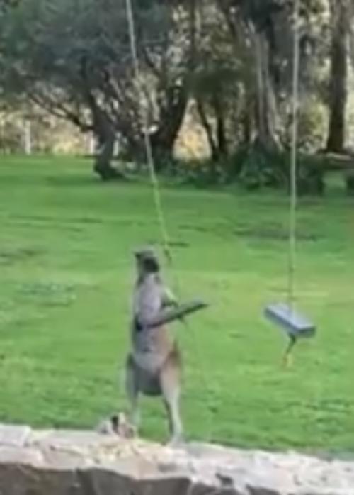 El video viral de un aburrido canguro divirtiéndose en el columpio de una casa en Australia