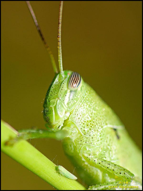 Grasshopper and Leaf Hopper