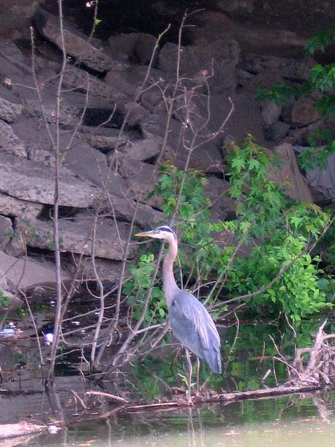 Esplanade Heron