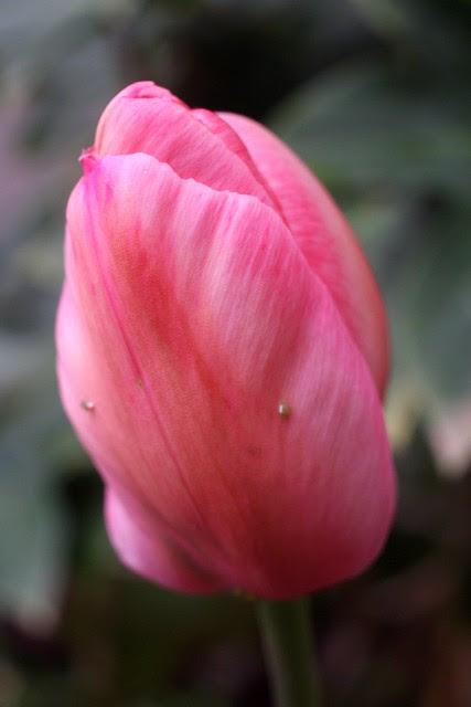 tulip, 1st & salmon