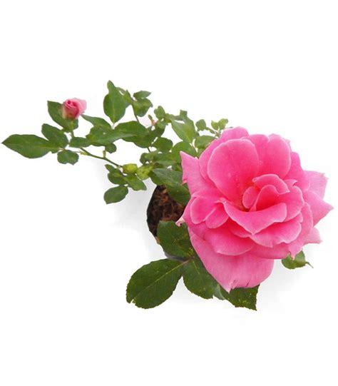 jual bibit bunga mawar pink rosa felicia mulya jaya