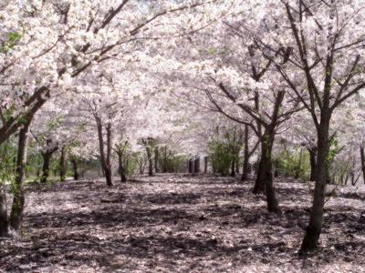 cherry tree blossom. japanese cherry tree blossoms.