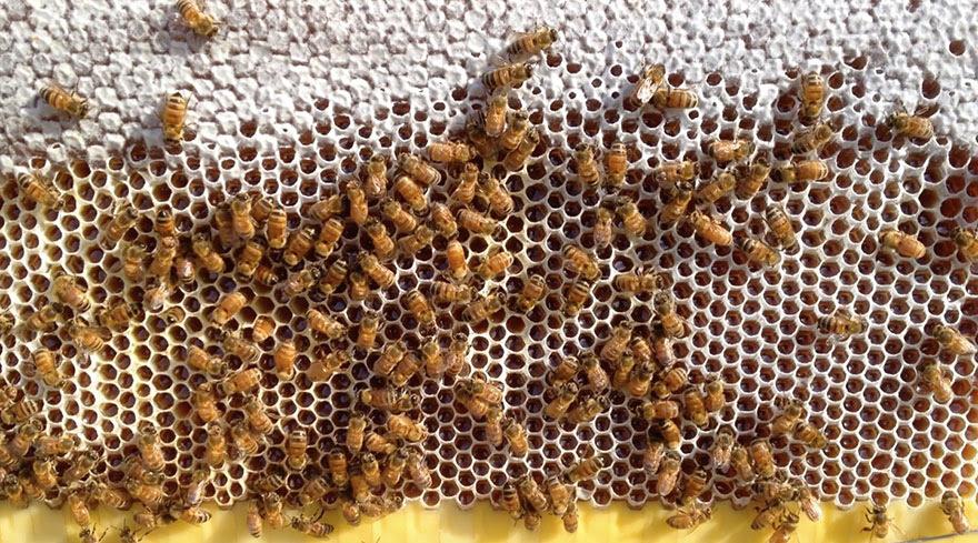 nueva-colmena-apicultura-miel-grifo-stuart-cedar-anderson (6)