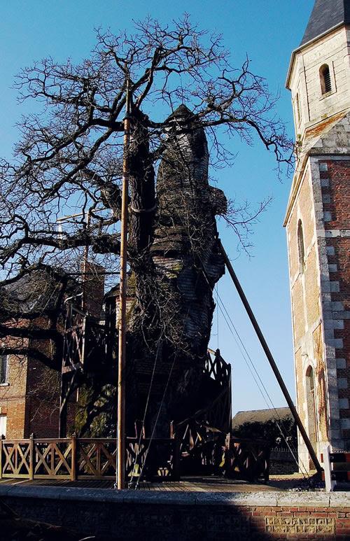Chapel Oak Tree