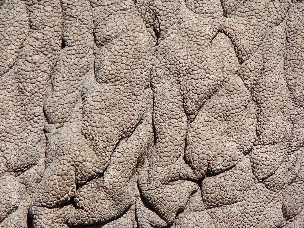 DSC08049 Elephant Skin