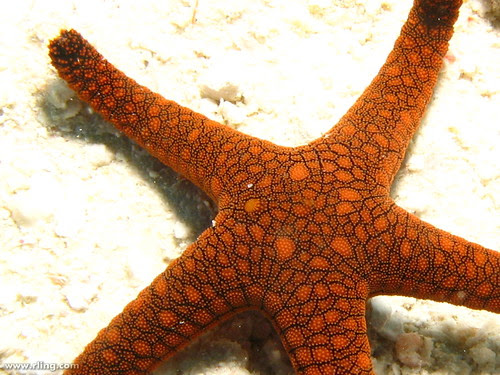 Indian Sea Star