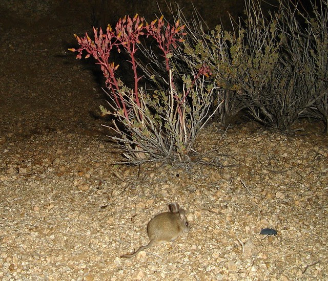 cactus mouse and beetle