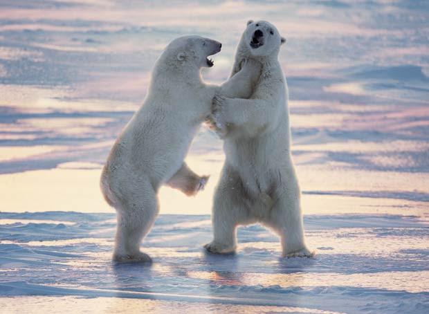 Ursos polares lutam em Cape Churchill, em Manitoba, no Canadá.  (Foto: Barcroft Media/Getty Images)