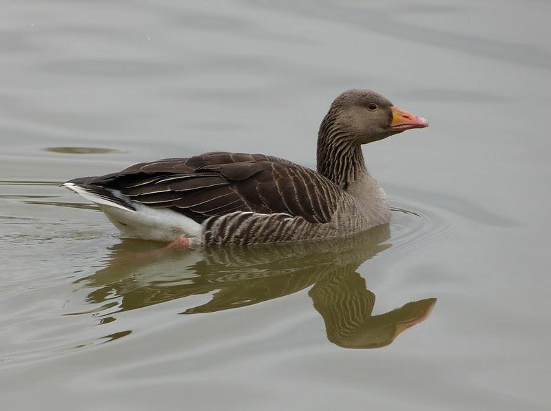 P1040107 - Greylag Goose, WWT Llanelli