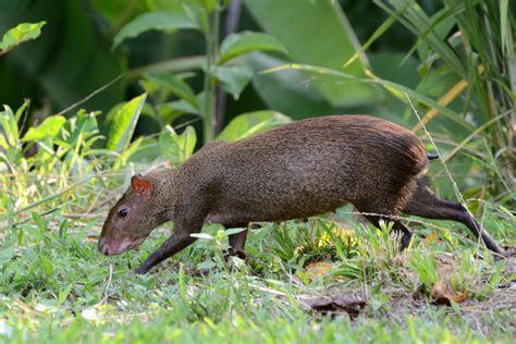 File:Dasyprocta punctata (Gamboa, Panama)   Wikimedia Commons