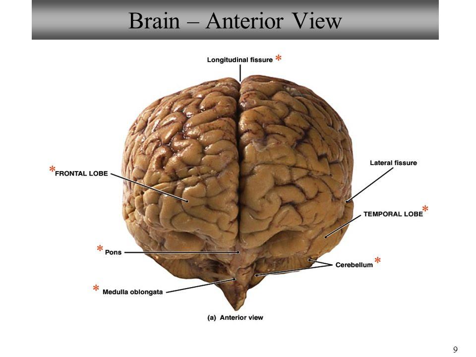 Brain+%E2%80%93+Anterior+View+%2A+%2A+%2A+%2A+%2A+%2A