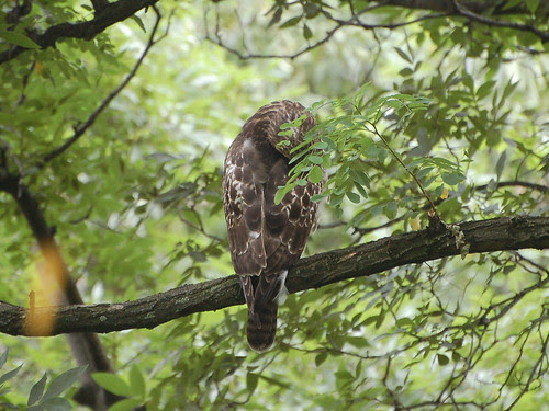 Sleeping Red-Tail Fledgling