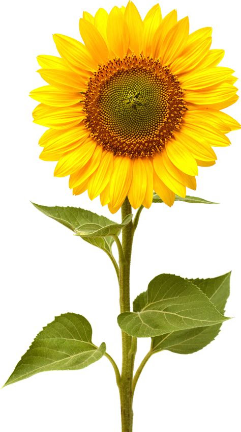 sunflower hd png transparent sunflower hdpng images