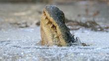 How have alligators dealt with the freezing temperatures that hit our area? The folks at Shallotte River Swamp Park used a series of Facebook posts to show the public how these reptiles survive the frosty conditions. (Source: WECT)
