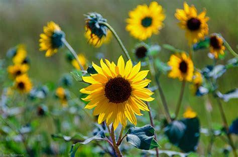 beautiful summer sunflowers hd desktop wallpaper