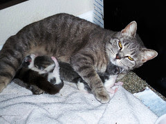 foster mommy and her three kittens, march 2008
