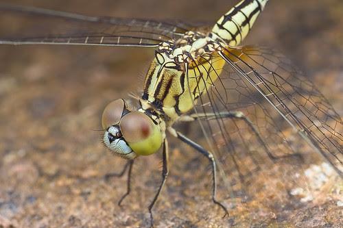 female acisoma panorpoides IMG_9487 copy