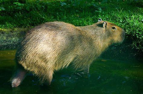 Capybara Water Rat Photograph by Rianna Stackhouse