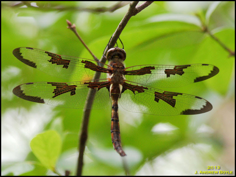 Prince Baskettail