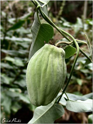 Araujia sericifera - Árvore-de-seda