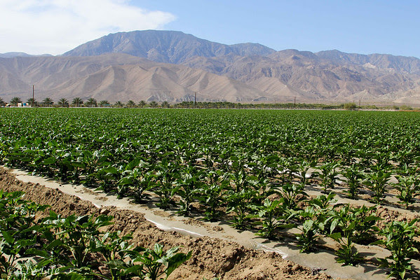 Prime Time Field - Coachella Valley - Pepper Plants