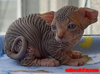 Cute Cats And Kittens Baby Sphinx Kitty