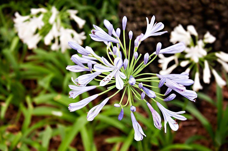 Fri - Jun 14, 2013 photo Purple-flowers-1_zps7fe50173.jpg