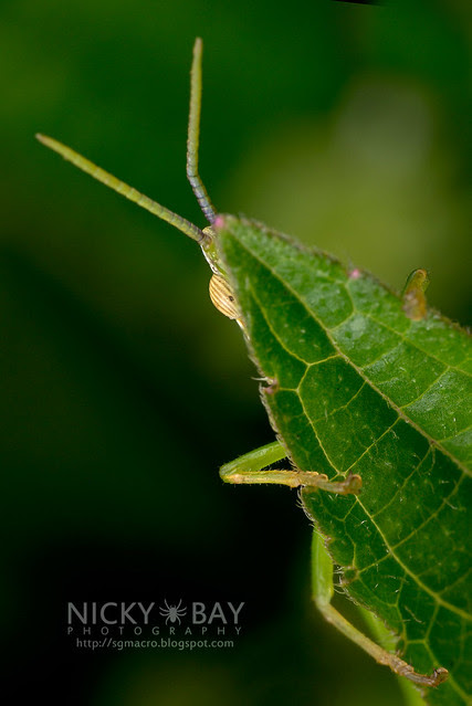 Cone-Headed Katydid (Tettigoniidae) - DSC_2910