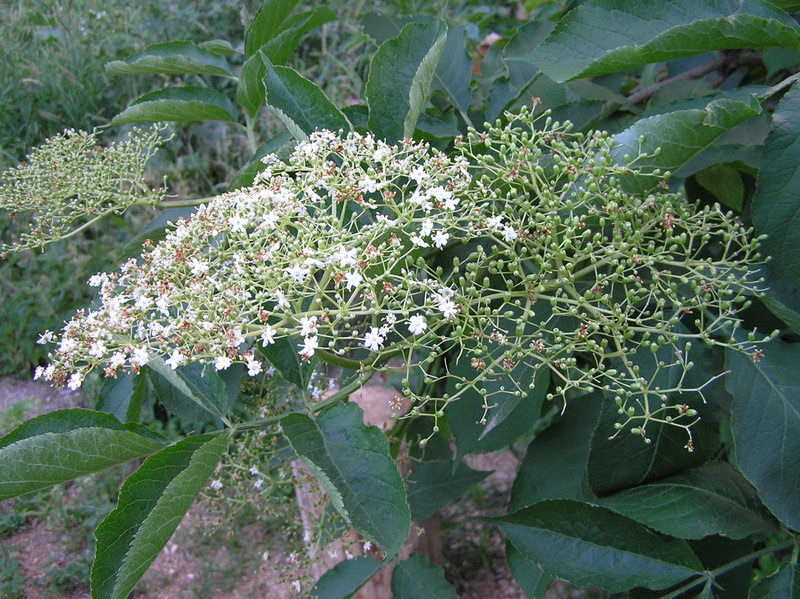 File:Sambucus nigra2 beentree brok.jpg
