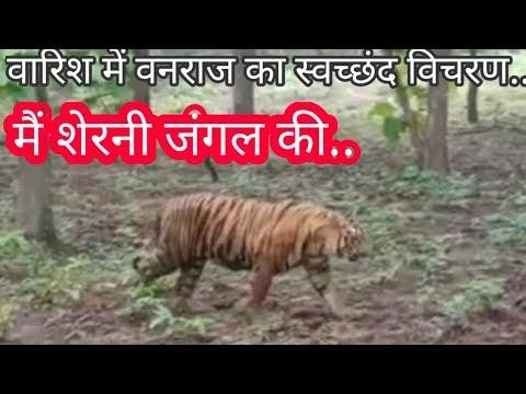 नौरादेही के जंगल में स्वच्छंद विचरण करते कैमरे में कैद हुए वनराज.. बाघ किशन व राधा के तीन शावकों में से एक हष्ट पुष्ट बाघ के बिना कॉलर आईडी के नजर आने की वीडियो वायरल.. जल्द बाघों का कुनबा बढ़ने की संभावना से रोमांचित हो रहे सैलानी..