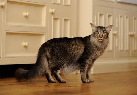 Oriental Longhair Cat Breed Information And Advice Your Cat