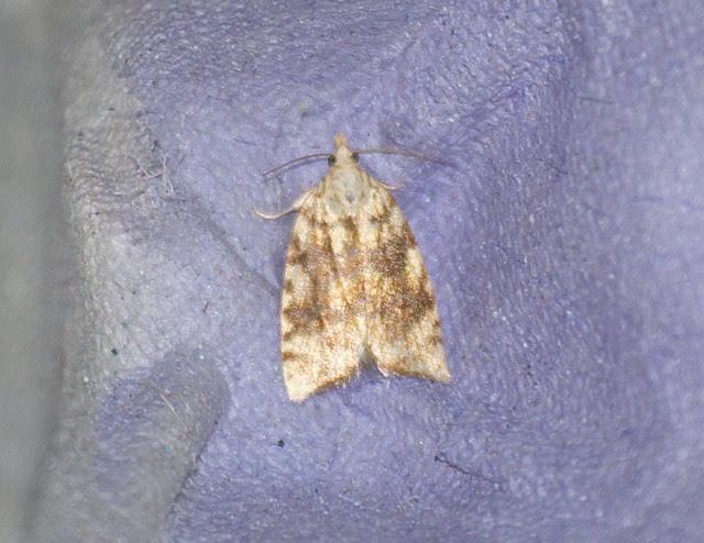 Tortrix sp micro moth DSC_4105